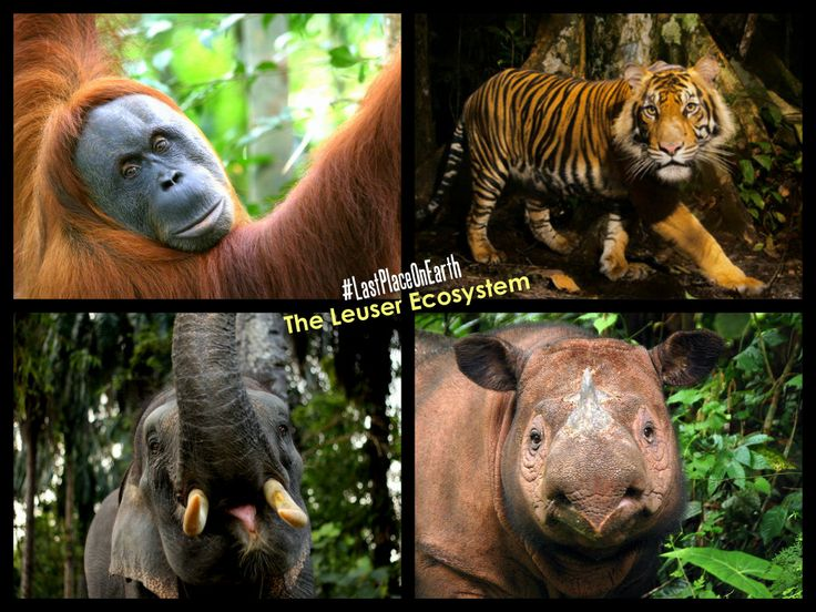 The Leuser Ecosystem is #TheLastPlaceOnEarth where Orangutan, Tiger, Elephant and Rhino inhabit the same forested landscape.