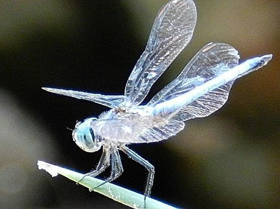 Translucent and silver-blue looking dragonfly.