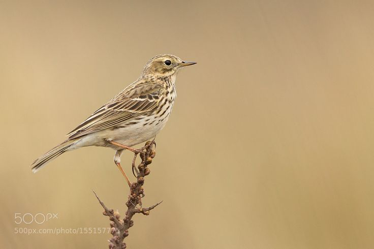 Wiesenpieper |Meadow Pipit by urszimmermann