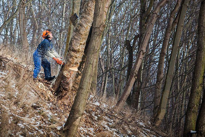 Wycinka drzew na fortach   Świnoujście w sieci