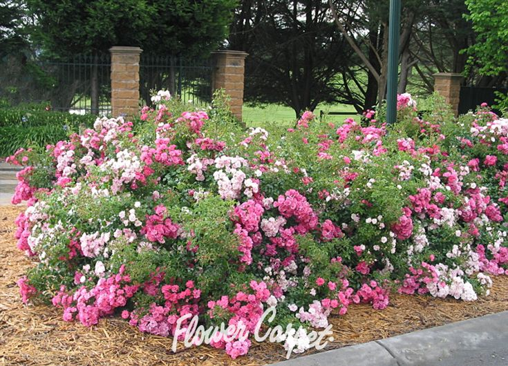 The 16 best borderedge plants images on pinterest monrovia plants a mixture of flower carpet pink and flower carpet appleblossom makes a long lasting colorful mightylinksfo