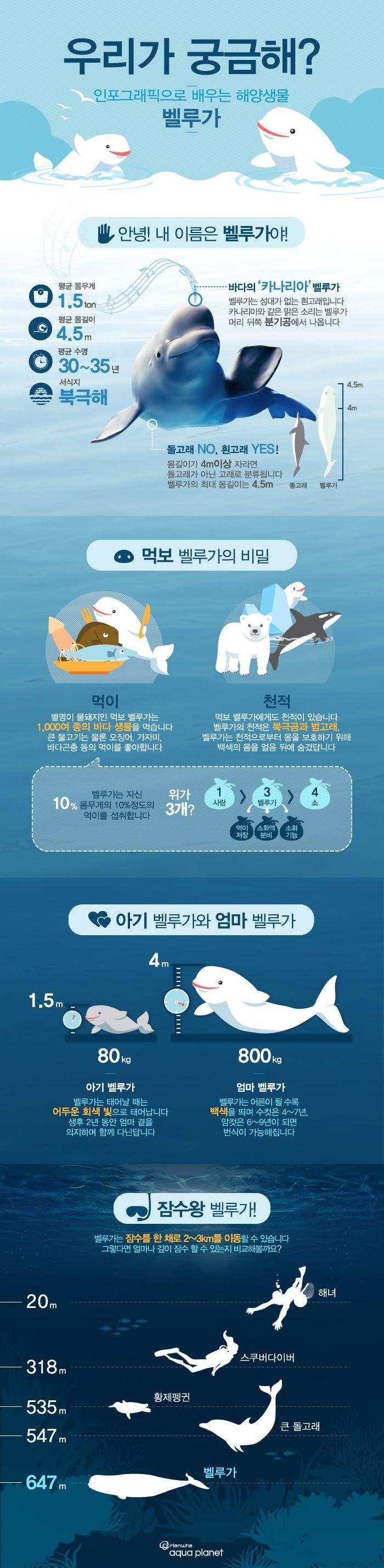 해양생물 편 흰고래 '벨루가'에 관한 인포그래픽