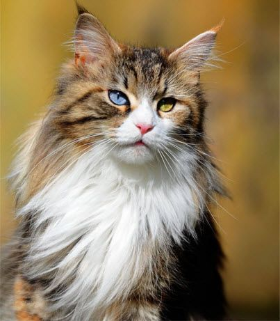 Pretty Blue Eyed Cat