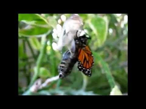 Wykluwanie się motyla z poczwarki. Motyl nazywa się monarch.