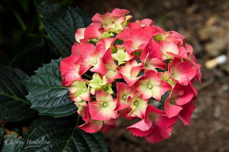 https://flic.kr/p/Hq2QXW | hydrangea2996_web | Brightly Colored Hydrangea  The bright colors of the hydrangea blossom contrasts with the rich, dark green of its foliage.