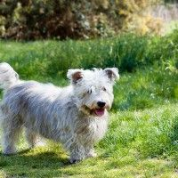 #dogalize Razze cane: il cane Glen of Imaal Terrier #dogs #cats #pets