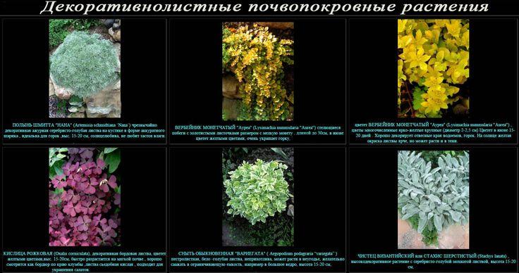 почвопокровные растения с декоративными листьями