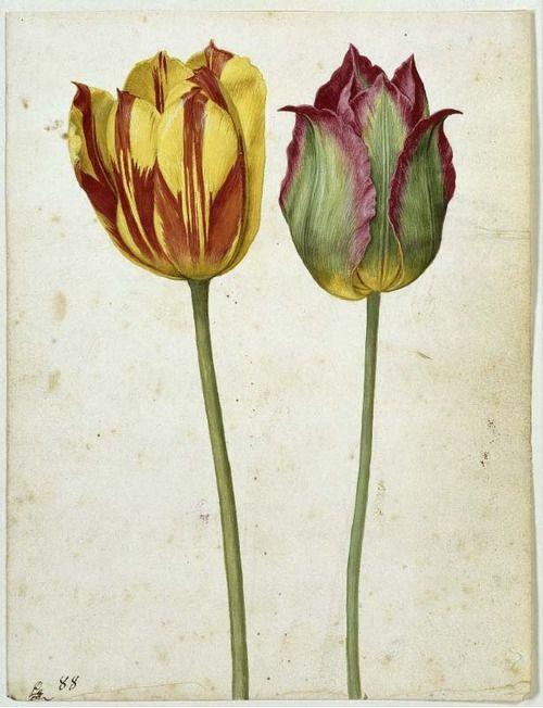Georg Flegel, Two Tulips, 1630. Watercolour. Frankfurt, Germany.  Kupferstichkabinett, Staatliche Museen zu Berlin.