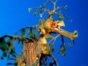 Leafy Sea Dragon - will wonders never cease?