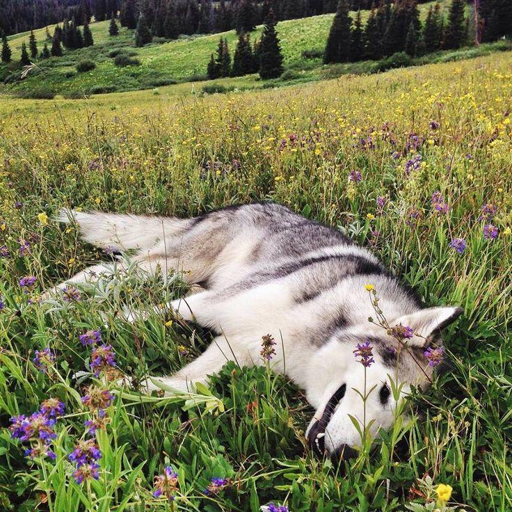 lokithewolfdog