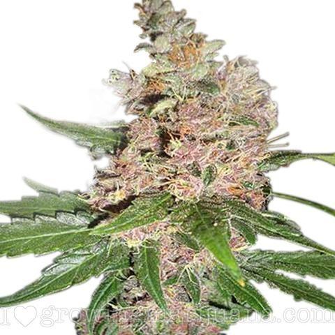 Blue Dream (fem) growing marijuana seeds.