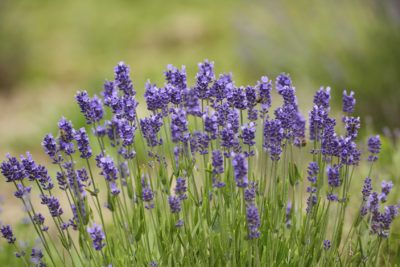Cold Hardy Lavender Plants: Tips On Growing Lavender In Zone 4 Gardens - Cold hardy lavender might need a little more TLC if you don't have a reliable snow pack, but there are still lavender plants for zone 4 growers available. Click here to find out about lavender varieties for cold climates and information about growing lavender in zone 4.