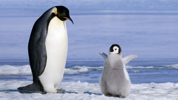 Baby Penguin Wallpaper Hd Penguins Penguin Wallpaper Cute Penguins