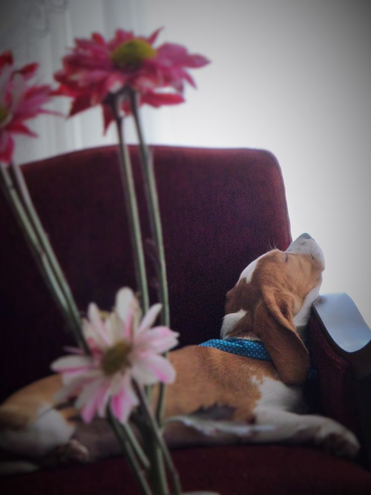 #Beagle #Limón  #pet #dog #perro