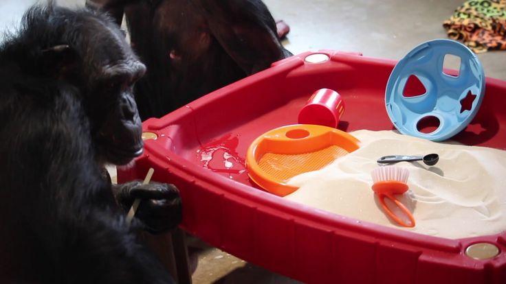 Rescued chimpanzee explores enrichment