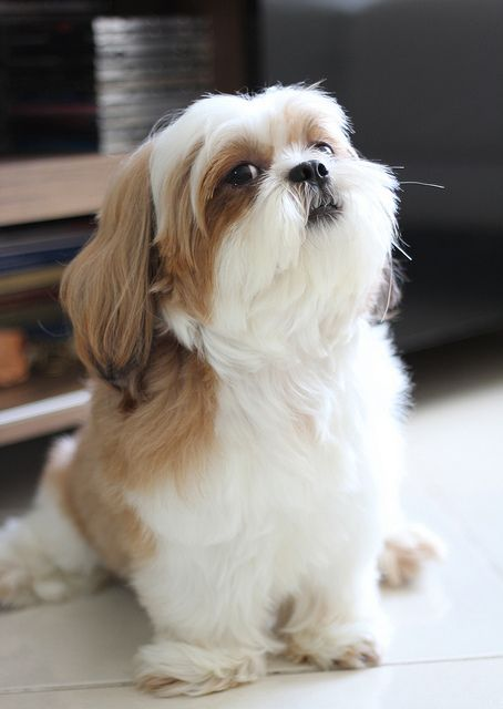 Sitting pretty. Love this Shih Tzu look.