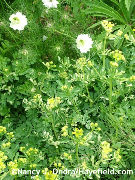 'Harlequin' rue (Ruta graveolens) with 'Cramers' Plum' love-in-a-mist (Nigella damascena) at Hayefield.com