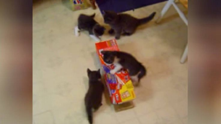 How These Adorable Kittens Play With The Box Will Warm Your Heart!