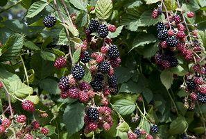 Huntley Berry Picking