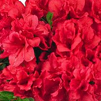 Azalea - Bloom-A-Thon™ - Red