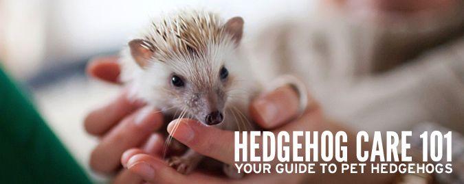 Hedgehog Care 101 | Hedgehogs as Pets