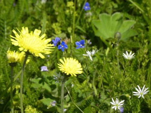 Närbild på gula, blå, vita och lila blommor i sommaräng. Fotat av Ockelbo Webbdesign.