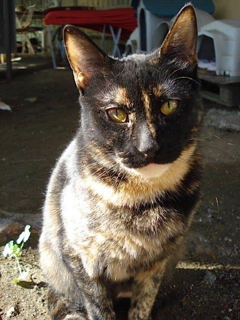 Helfende Hände e.V. - Katze Vicky (EKH ca. 3 Jahre) sucht ein Zuhause   Steckbrief Nr. 91280
