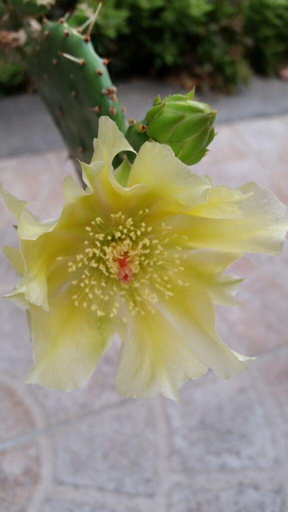 Fiore di opuntia