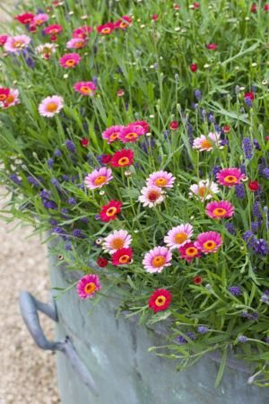 Argyranthemum and Lavender 'Hidcote Blue' Planting Idea
