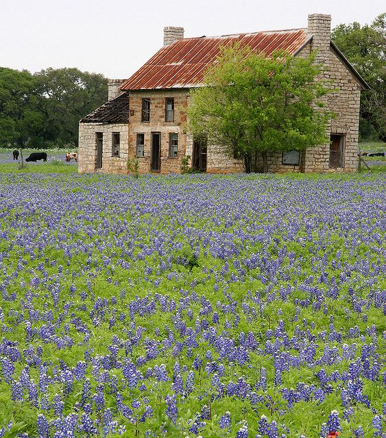 Texas bluebonnets and weathered limestone