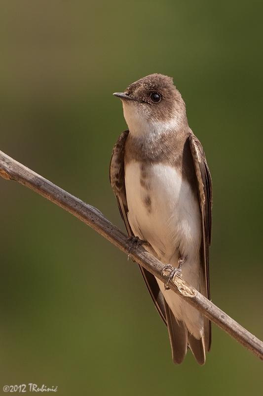 Family: Hirundinidae. Sand Martin / Avión zapador (Riparia riparia)