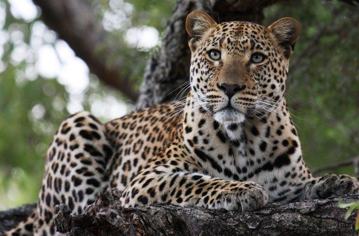 leopard.jpg 3,132×2,065 pixels