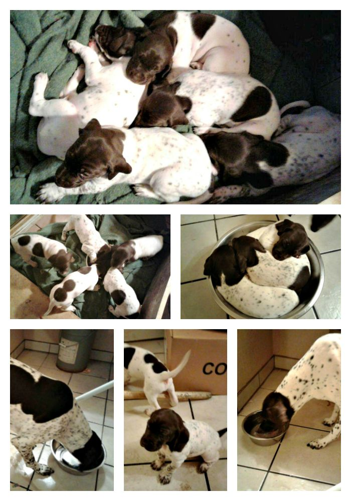 We're Having Babies…   Mile High German Shorthaired Pointer Rescue