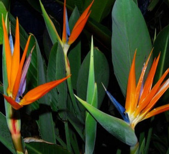 Lovely Bird Of Paradise Tropical Plant Well Suited As Indoor Easy Plant Size Has Leaves 8 Plu Paradise Plant Birds Of Paradise Plant Birds Of Paradise Flower