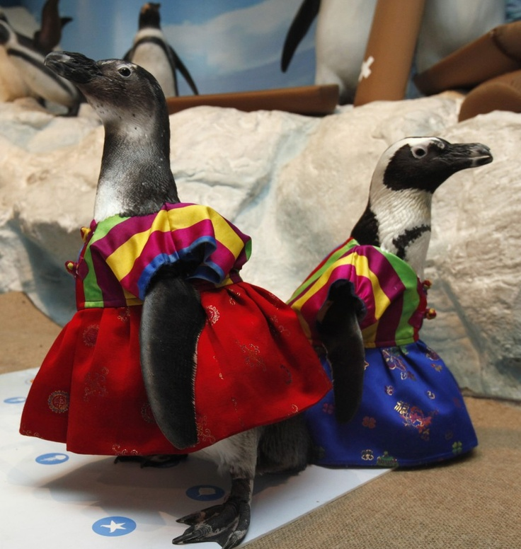 If you ever wanted to see Penguins wearing traditional Korean costumes...REDUNKULOUS!: Penguins Wear, Korean Dresses, Hanbok Costumes, Laughing Animal, Years Events, Traditional Korean, Wear Traditional, New Years, Korean Hanbok