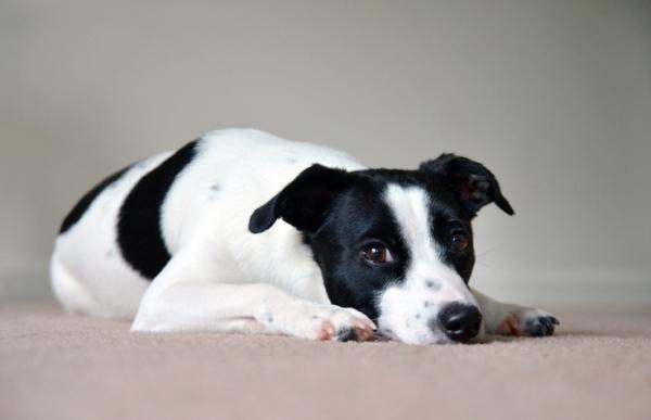 Remedios Caseros Para El Dolor De Estómago En Perros Efectivos Remedios Caseros Para Perros Dolor De Estomago Remedios Para Dolor De Estómago