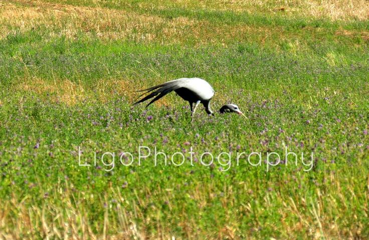 Blue Crane Bird http://fromliritawithlove.wordpress.com/#
