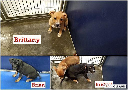 Henderson Nc Rottweiler Meet B Pups 3 A Dog For Adoption