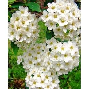 Grow a Year-Round Wildlife Habitat Garden. Renaissance Spiraea Shrub (Bridal Wreath)  Massive display of pure white flowers in early spring that lures butterflies and night pollinators. Growth to 7 feet. ~ needs full  sun.
