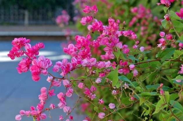 Favorite vines for backyard flower gardens blog  Queen Anne's Wreath (Antigonon leptopus)