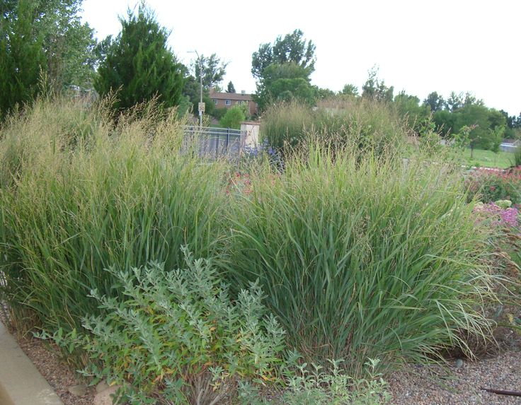 Secwcd xeriscape save water and still have a beautiful for Blue ornamental grass varieties