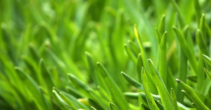 Como funciona um rolo nivelador de gramados?. Feitos de aço ou polietileno, os cortadores de grama imprimem centenas de quilos de pressão sobre o solo gramado para nivelar a área antes do corte. O rolo nivelador é preenchido com água ou areia antes de ser utilizado, tornando-se muito pesado. Rolos niveladores de gramado são preenchidos somente até a metade com água; caso contrário, o rolo não ...