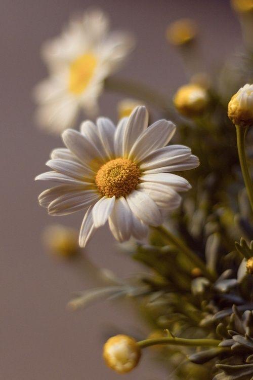 Daisy - often known as a Shasta Daisy