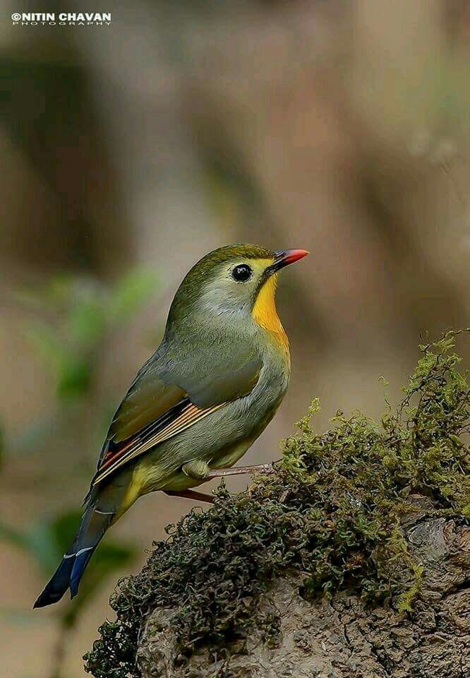 The red-billed leiothrix (Leiothrix lutea) is a member of the family Leiothrichidae, native to southern China and the Himalayas. Adults have bright red bills and a dull yellow ring around their eyes. Their backs are dull olive green, and they have a bright yellow-orange throat with a yellow chin; females are somewhat duller than males, and juveniles have black bills. It has also been introduced in various parts of the world, with small populations of escapees having existed in Japan since…