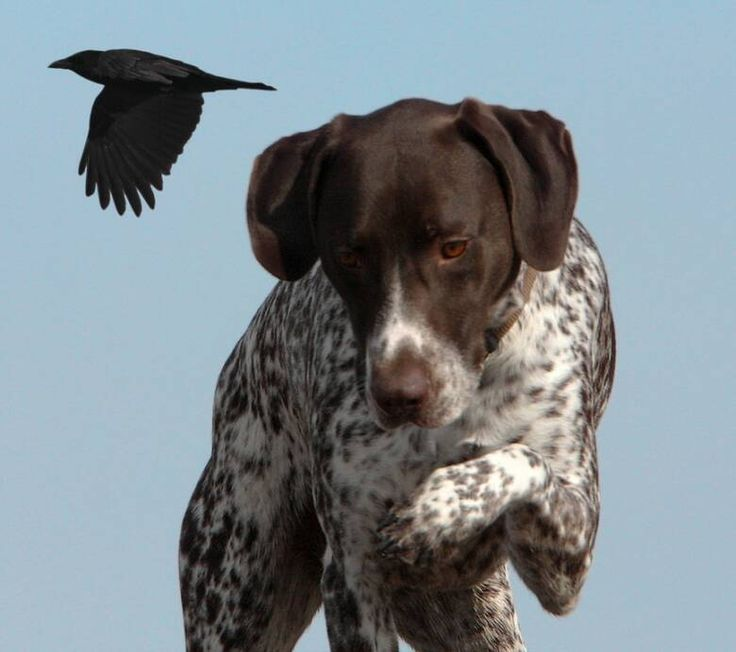 GSP German Shorthaired Pointer - Braque allemand