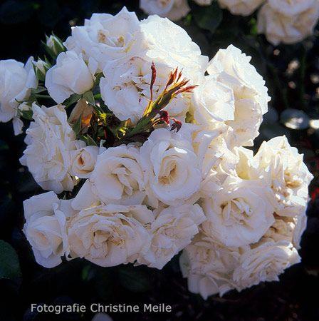 Aspirin --- Floribunda --- Tantau (D) 1997