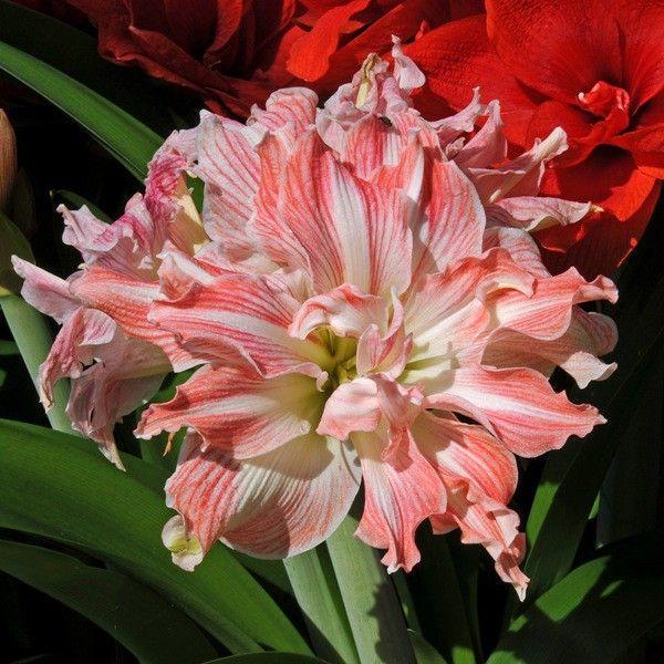 203 besten amaryllis hippeastrum bilder auf pinterest farben pflanzen und iris. Black Bedroom Furniture Sets. Home Design Ideas