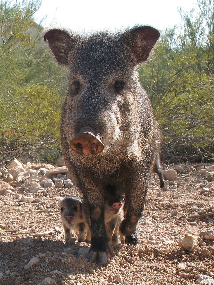 https://flic.kr/p/6qJmbk | Javelina and her babies