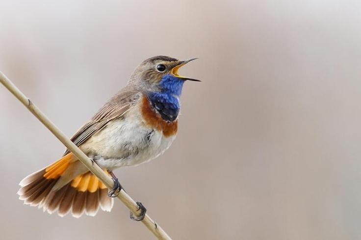 Bluethroat (Luscinia svecica)      Male, singing in the reed