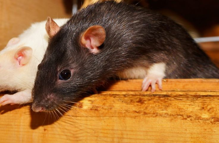 The best way on how to get rid of rats from your house